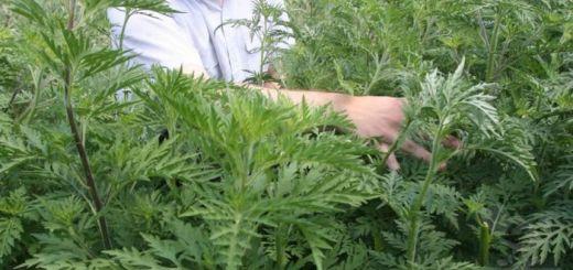 ambrozia-cea-mai-alergenica-planta