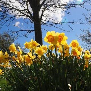 Narcisele, florile care ne relaxeaza primavara