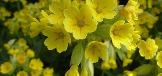 Ciubotica cucului. Care sunt actiunile si intrebuintarile medicinale ale florilor galben-aurii