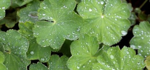 Cretisoara, planta care trateaza bolile feminine