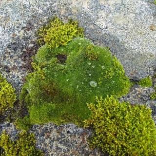 Muschiul islandez, planta minune care calmeaza tusea uscata si raguseala