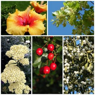 plante-medicinale-contra-hipertensiunii