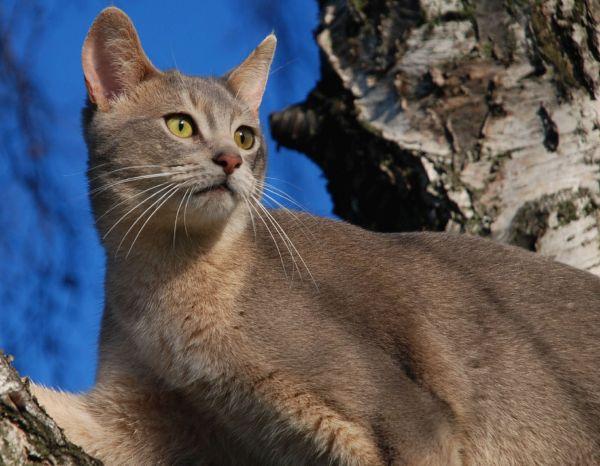 pisica-abisiniana