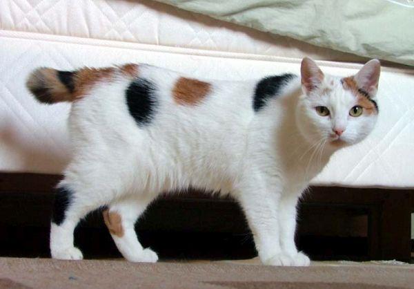 pisica-manx