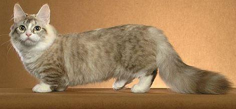 pisica-munchkin