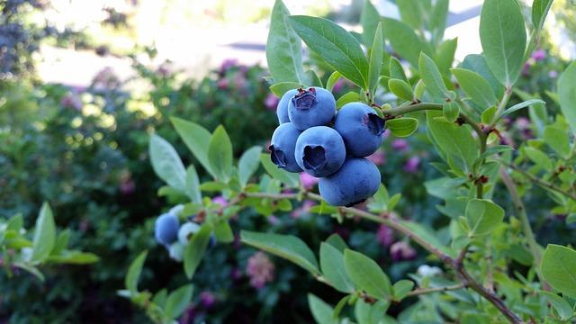 Cele mai importante beneficii ale frunzelor si fructelor de afin