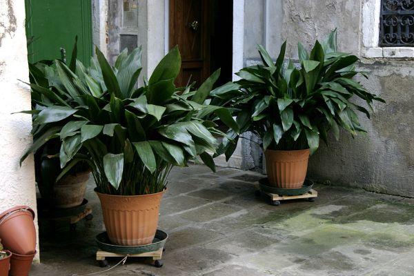 plante-care-nu-necesita-lumina
