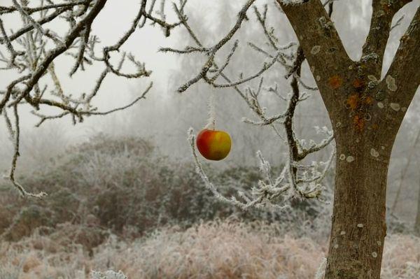 protejarea-pomilor-fructiferi-iarna