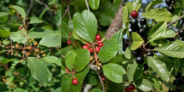 Ce ceaiuri sunt bune pentru curatarea colonului