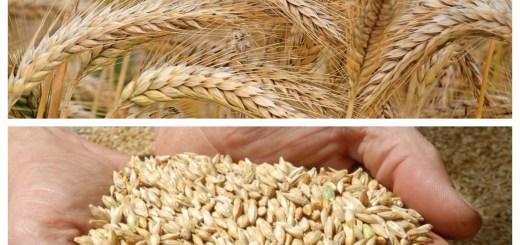 Orzul, cereala care nu ar trebui sa lipseasca din dieta ta