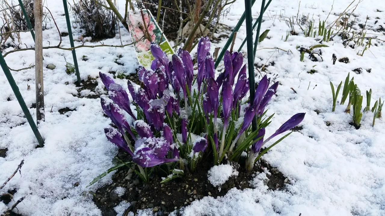 Flori care trebuie protejate de inghet. Cand vremea o ia razna