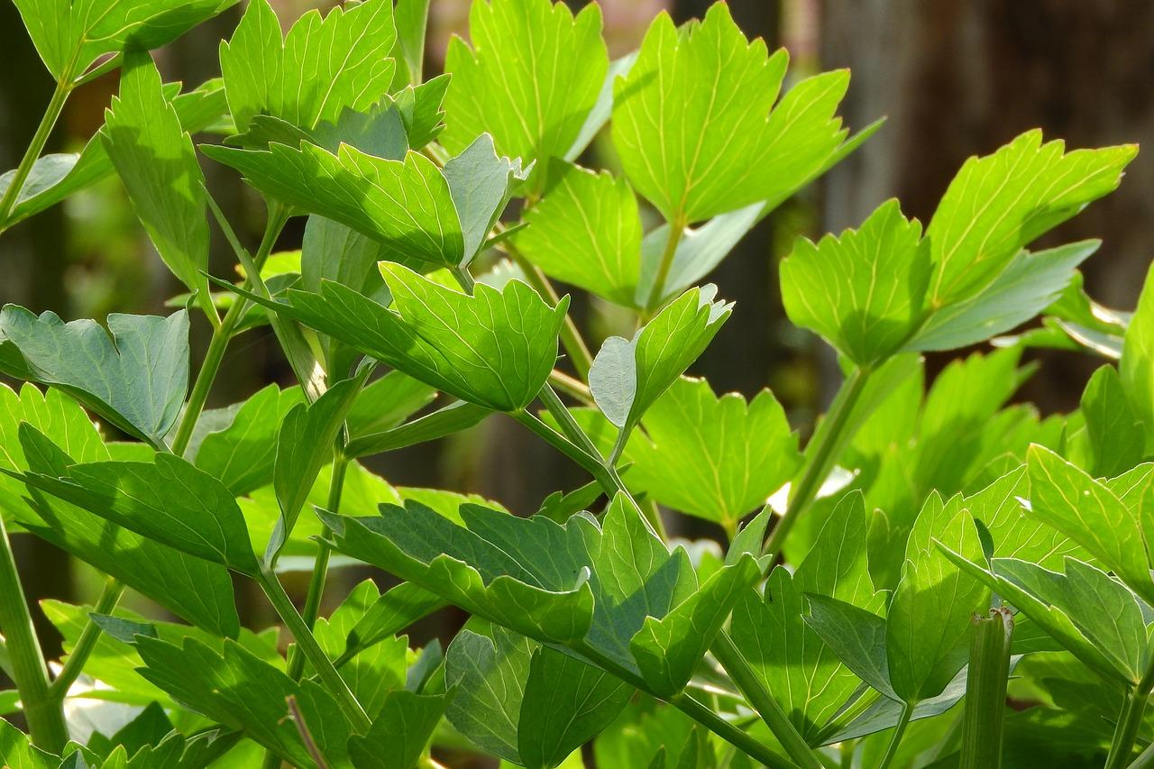 """Cum se cultiva leusteanul. 5 sfaturi pentru o """"tufa"""" adevarata"""