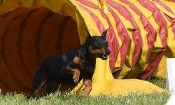 Собака породы цвергпинчер выбегает из туннеля, преодолевая трассу аджилити