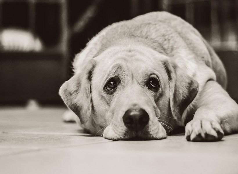 Черно-белая фотография собаки породы лабрадор-ретривер, печально смотрящей снизу-вверх