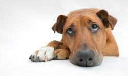 Собака-метис лежит и печально поднимает глаза на оператора