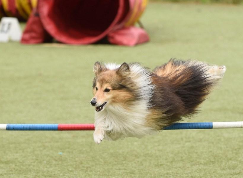 Собака породы шелти прыгает через барьер