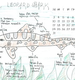 leopard shark scientific diagram [ 3652 x 2670 Pixel ]