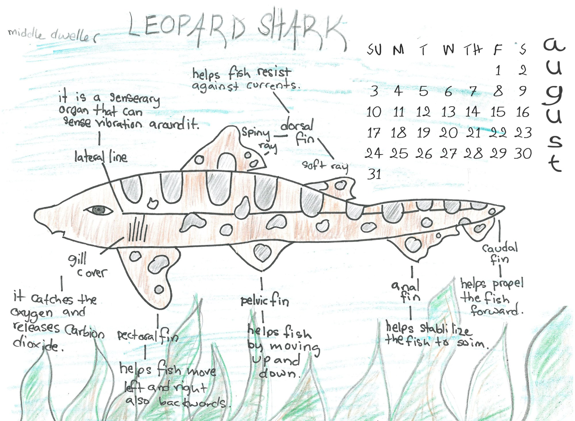 hight resolution of leopard shark scientific diagram