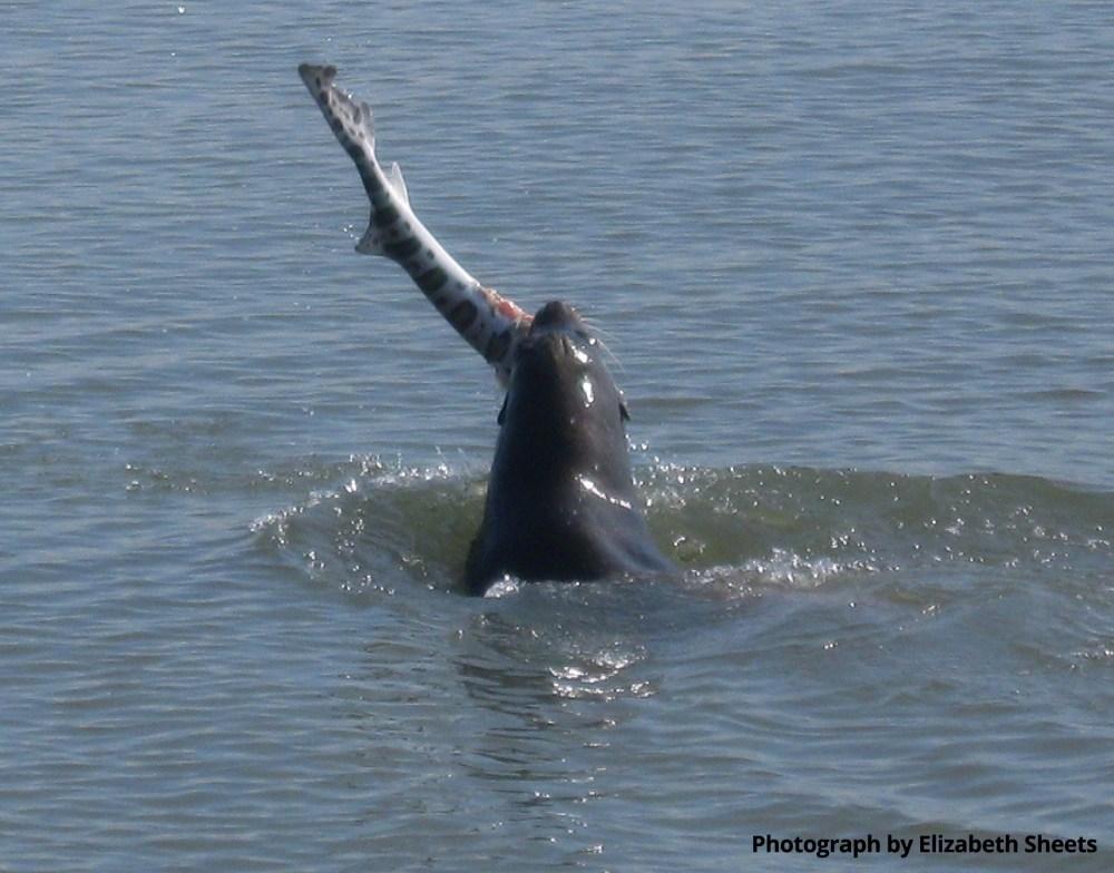 medium resolution of sea lion munch time liz