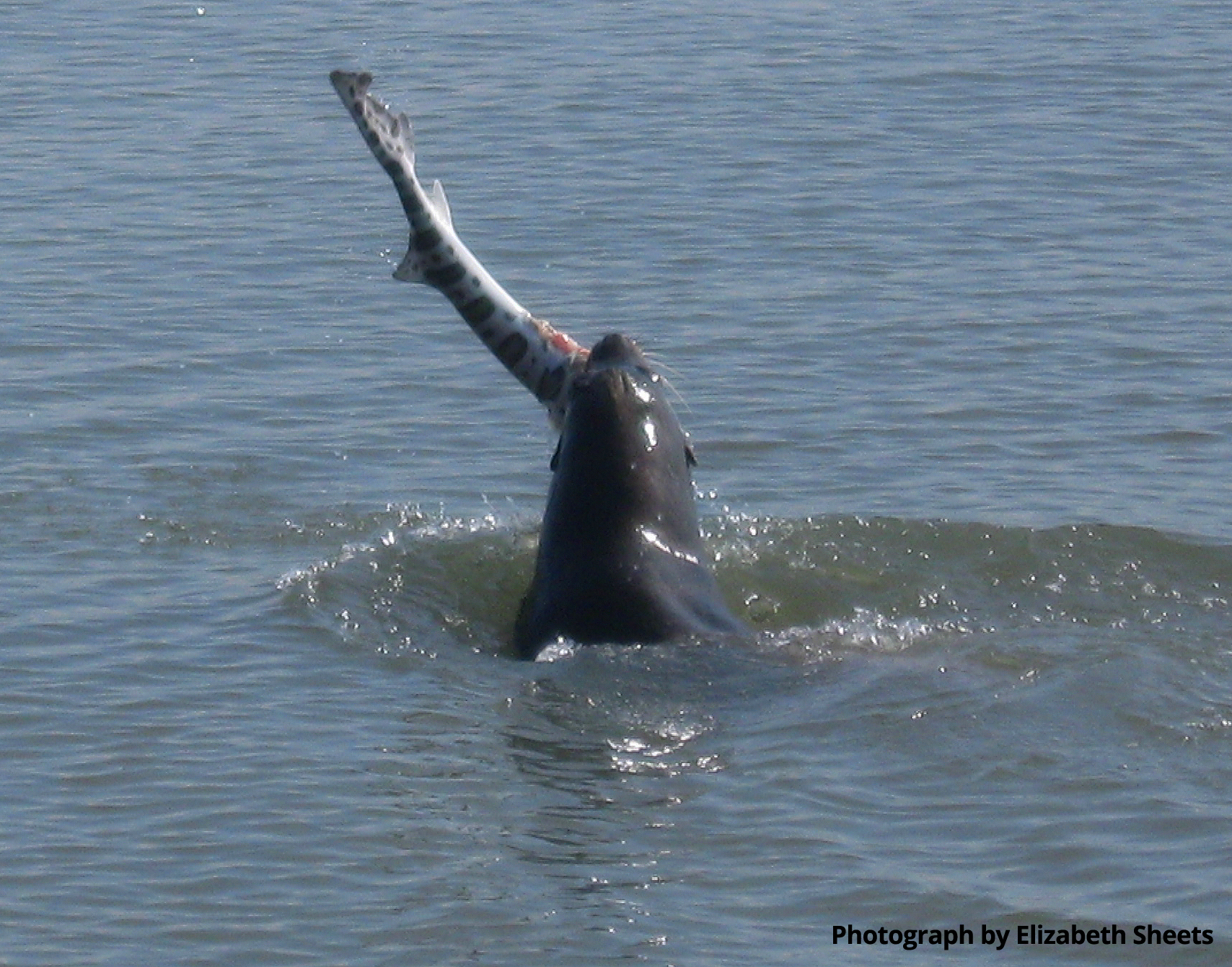 hight resolution of sea lion munch time liz