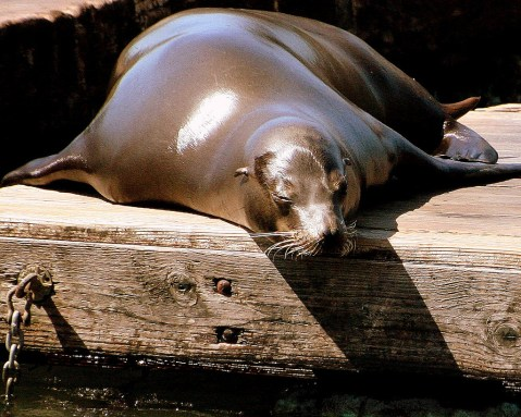 Fat sea lion on the dock