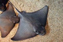 Bat Rays on the ocean floor