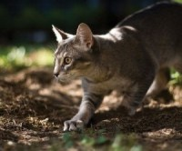 abyssinian_cat_hunting