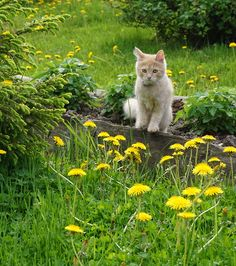 Kitty in dandelion -- cats, like dogs, are excellent herbalists. When allowed access to wild or cultivated medicinal plants and herbs, they are able to sel-medicate as needed to remedy any imbalances..