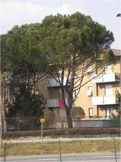 Pinus pinaster albero