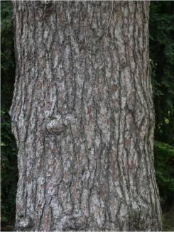 Corteccia di Pinus pinaster