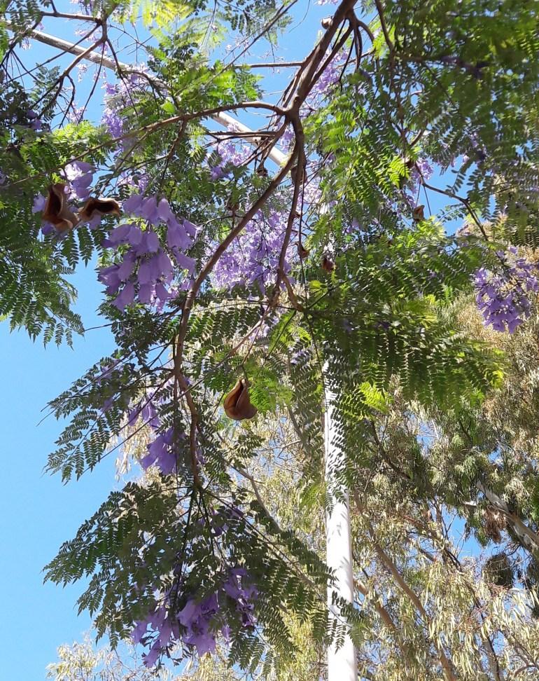 Frutti e foglie di Jacaranda mimosifolia