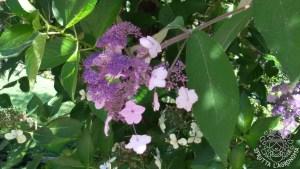 Fiori di Hydrangea aspera