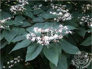 Foglie e fiori di Clorodendrum