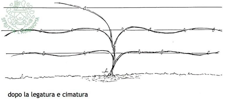 rosa rampicante durante il primo anno dal trapianto, dopo legatura e cimatura