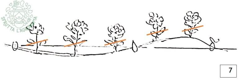 A giugno viene effettuata una speronatura, tagliando al di sotto dei fiori appassiti