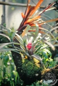 Molte Bromeliaceae , come le Tillandsie, sono piante epifite