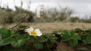 Beach Strawberry (Fragaria chiloensis) and Bridge
