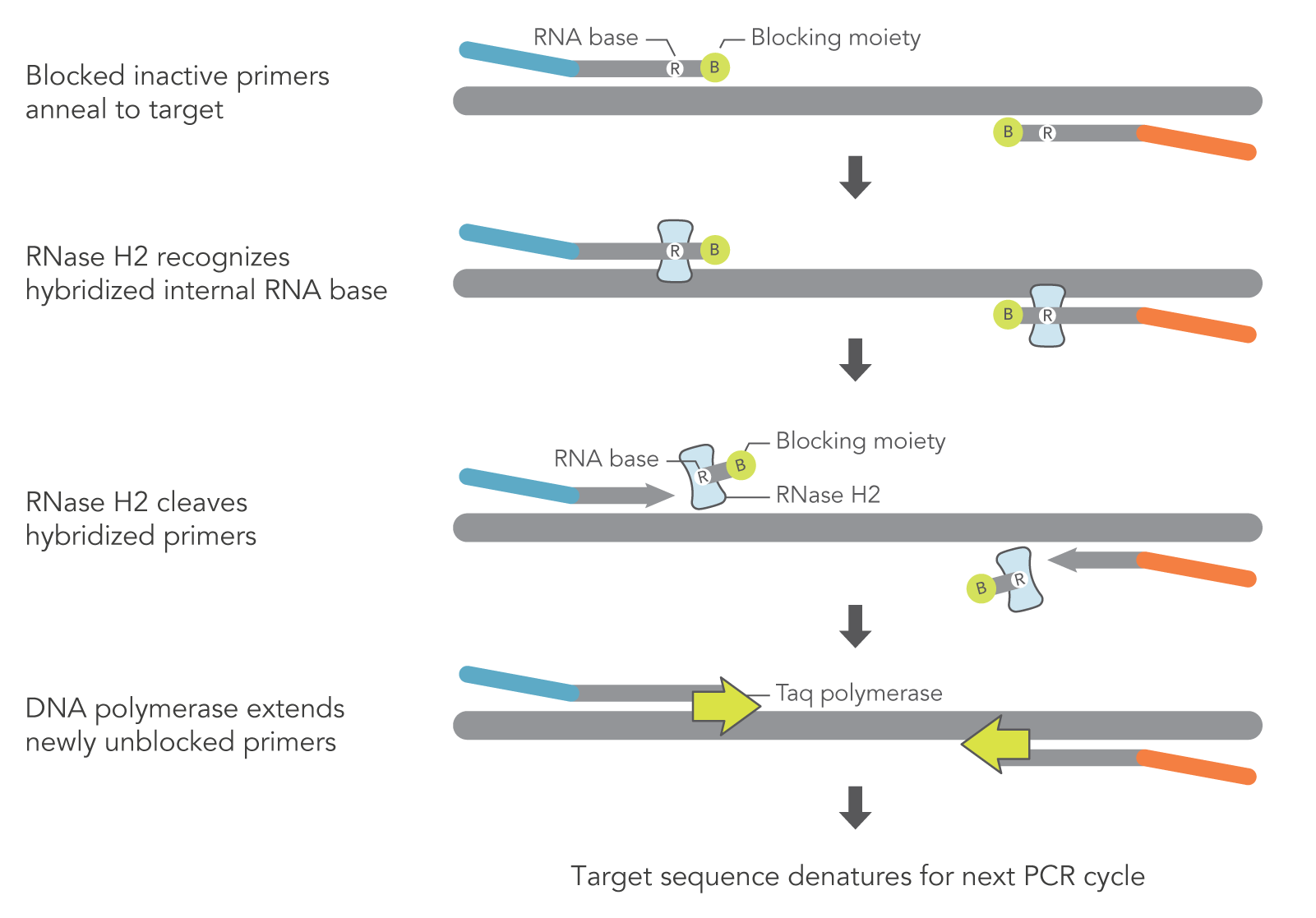 hight resolution of schematic of how rhamp pcr works