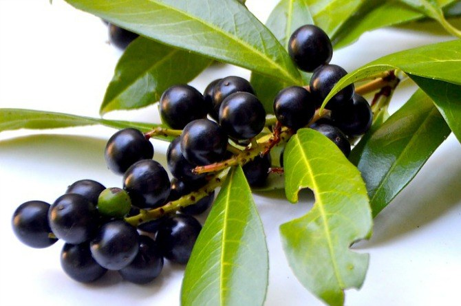 Even a few berries of the deadly nightshade can be lethal