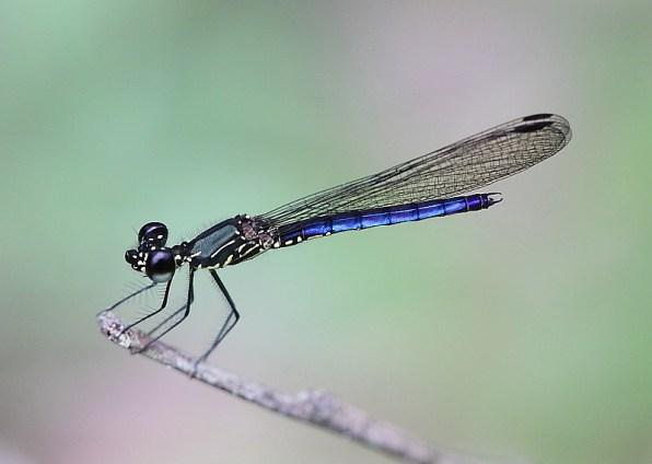 Libellago hyalina (Clearwing Gem)