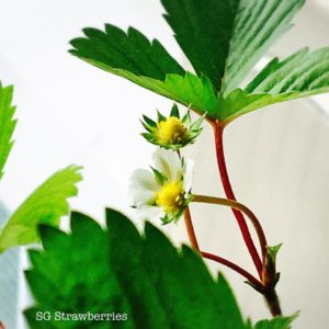 Growing Strawberries in Singapore