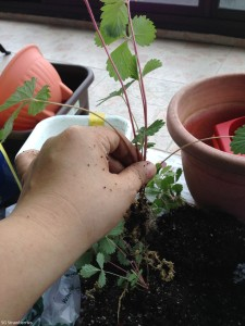 How to transplant young strawberry plant