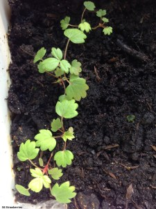 Growing White Soul strawberries from seeds