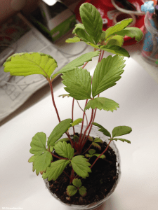 Strawberry seedling stages