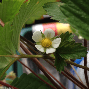 Strawberry plant flowers