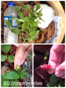 Growing strawberries in outdoors Singapore garden