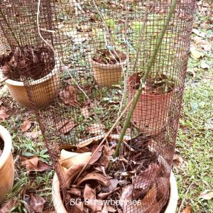 Grow wolfberry gojiberry in Singapore