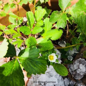 Grow Strawberries Outdoor in the tropics