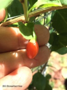 Grow Wolfberry or Gojiberry from Kau Kee Cutting