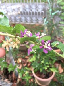 wolfberry flowers
